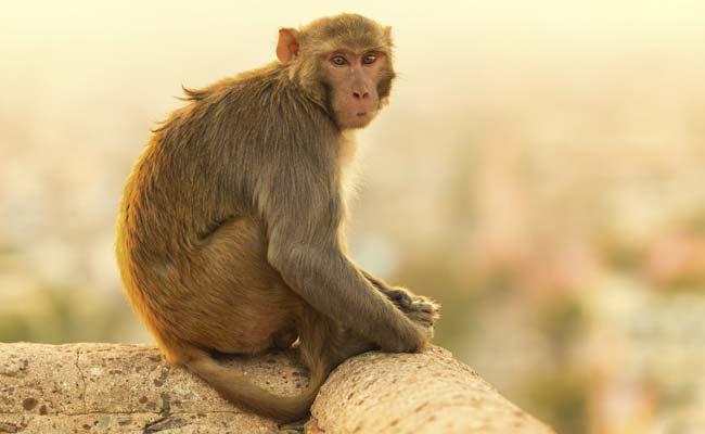 सपने में बंदर देखना